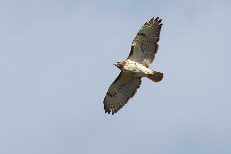 Red-tailed HawkAdc112812_72ppi