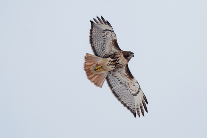 Red-tailed HawkAdf122608_72ppi