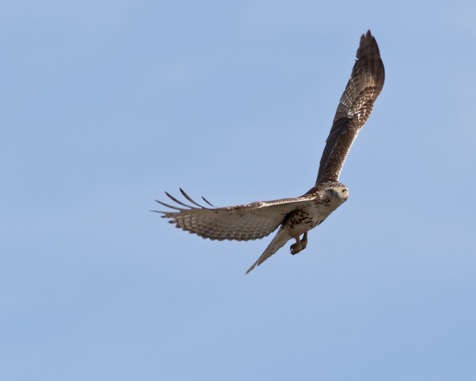 Red-tailed HawkHYa020715_72ppi
