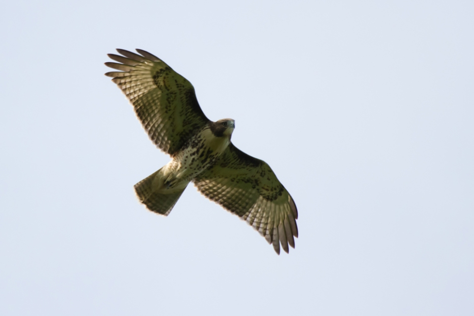 Red-tailed HawkHYa082512_72ppi