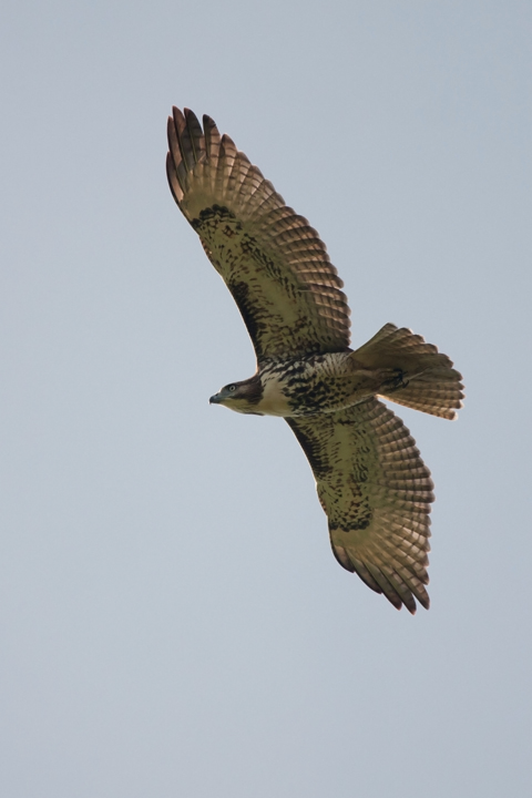 Red-tailed HawkHYb091011_72ppi