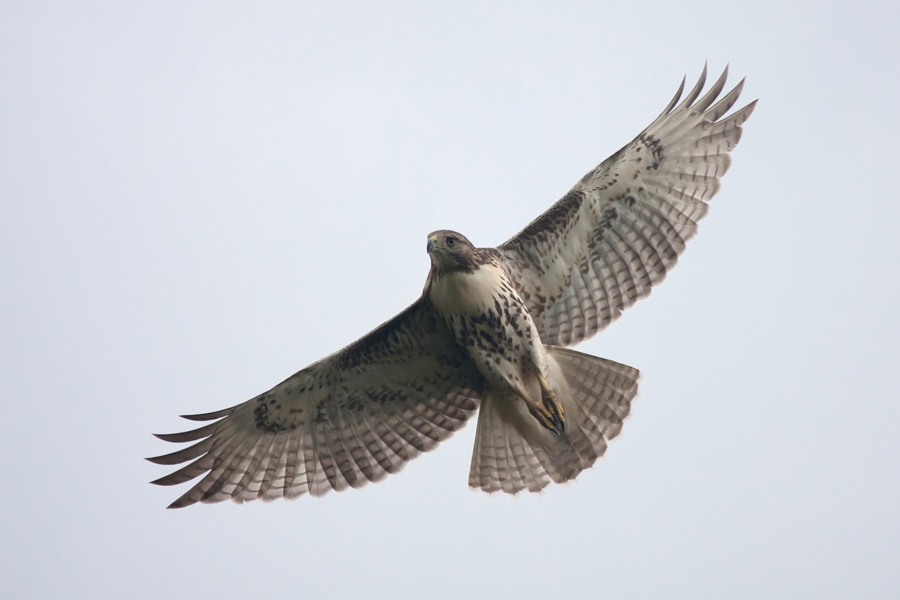 Red-tailed HawkHYb092411_72ppi