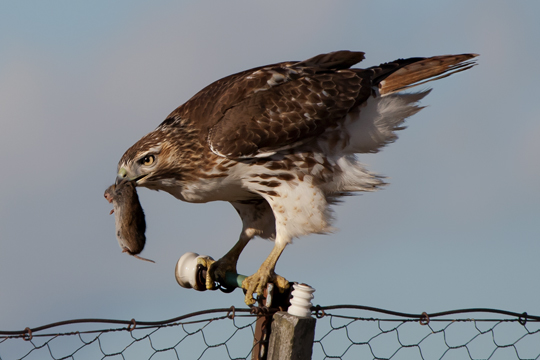 Red-tailed HawkHYbb122808_72ppi