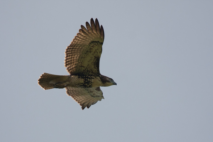 Red-tailed HawkHYc091011_72ppi