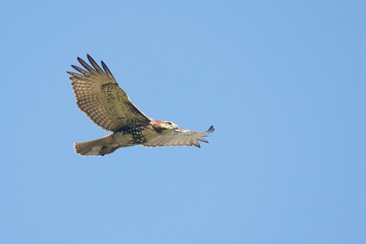 Red-tailed HawkHYd091011_72ppi