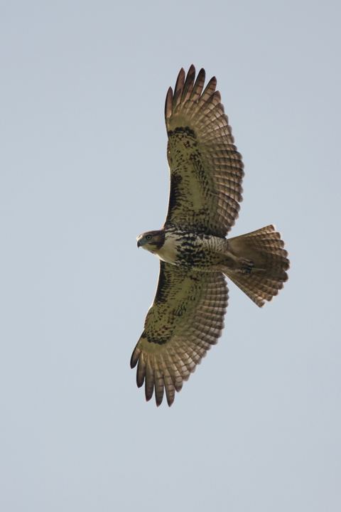 Red-tailed HawkHYe091011_72ppi