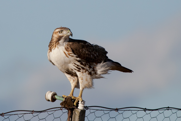 Red-tailed HawkHYg122808_72ppi