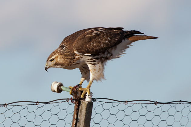 Red-tailed HawkHYh122808_72ppi