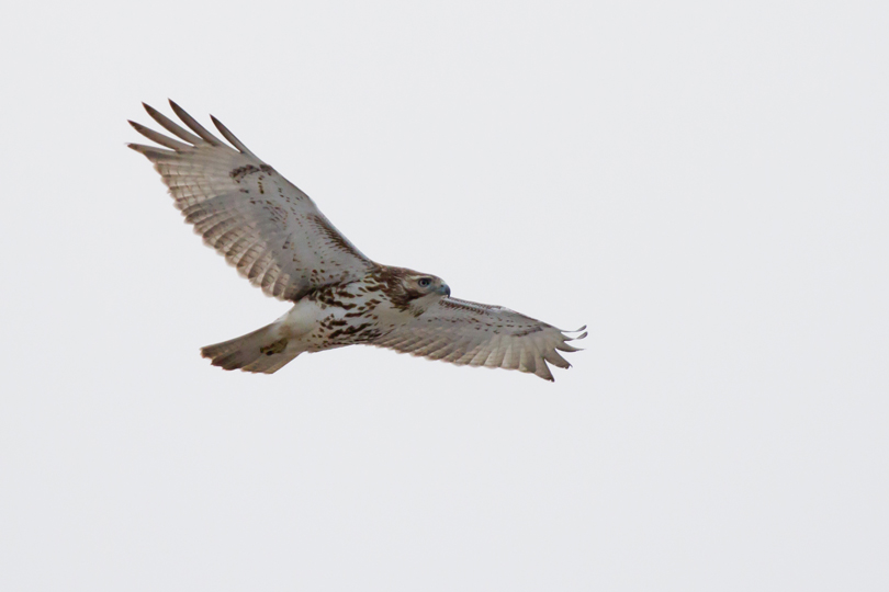 Red-tailed HawkSYa012713_72ppi