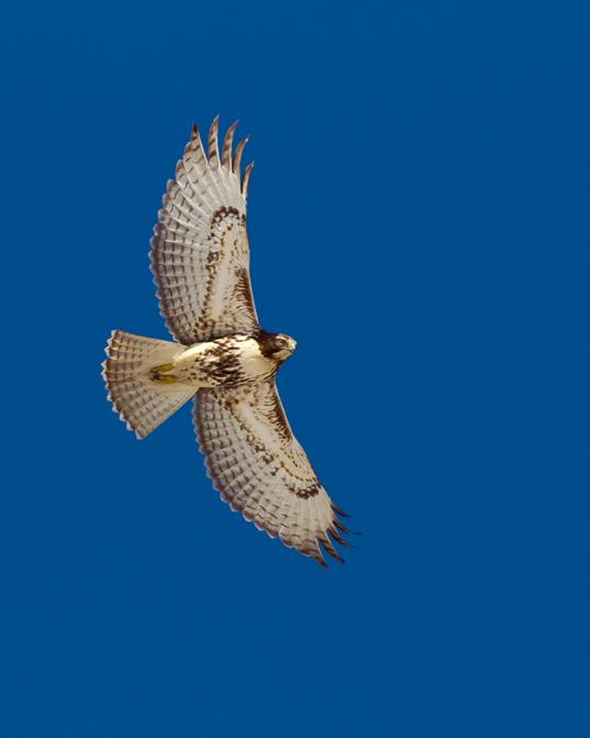 Red-tailed HawkSYa022314_72ppi