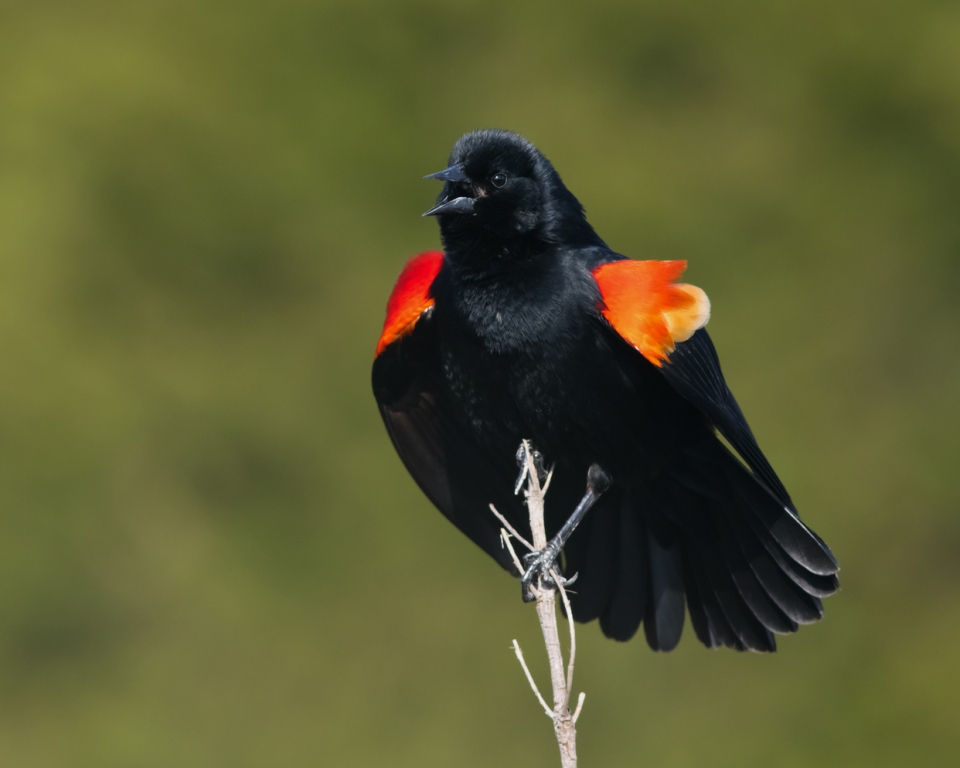 Red-winged Blackbird_ASYMa042915_72ppi