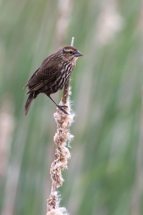 Red-winged BlackbirdFa051313_72ppi