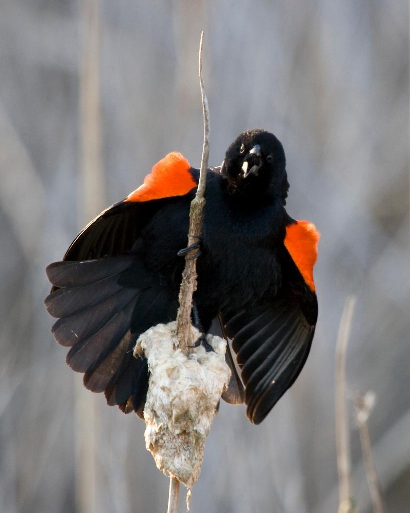 Red-winged BlackbirdMc04.05.09