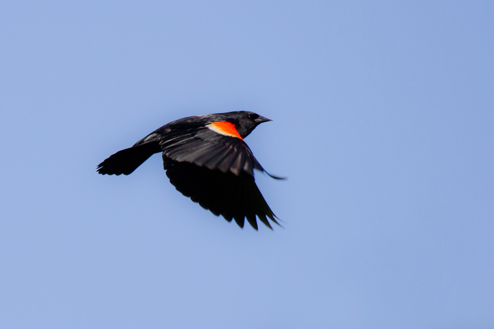Red-winged BlackbirdMc050213_72ppi