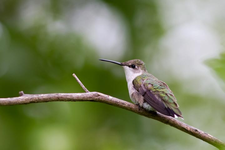 Ruby-throated HummingbirdFa050714_72ppi