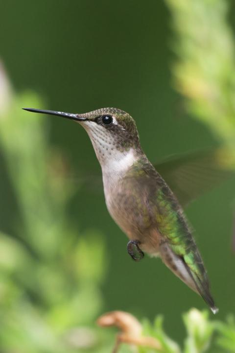 Ruby-throated HummingbirdFa081511_72ppi