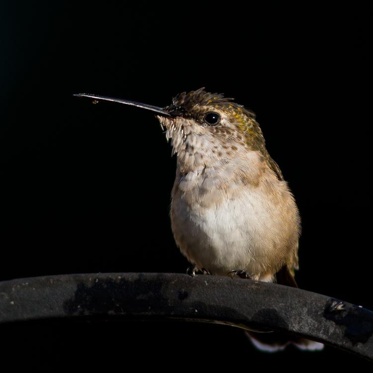 Ruby-throated HummingbirdFa082413_72ppi