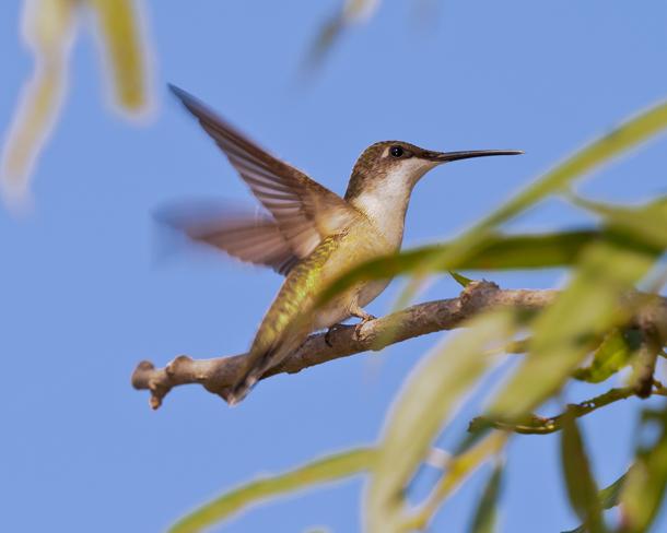 Ruby-throated HummingbirdFa082614_72ppi