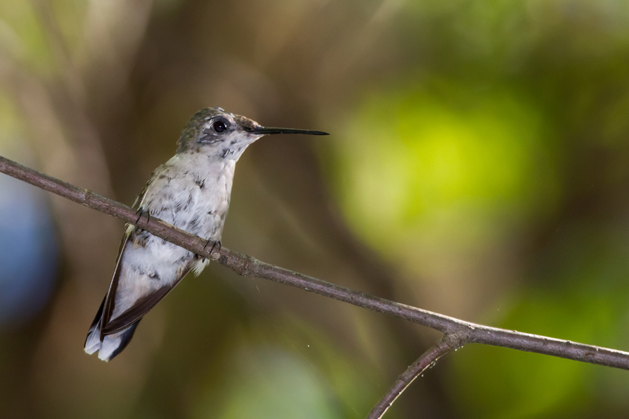 Ruby-throated HummingbirdFa082912_72ppi