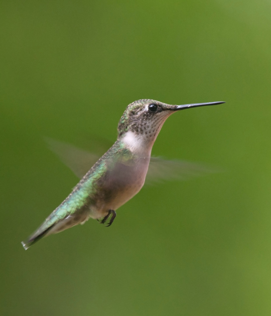Ruby-throated HummingbirdFb081511_72ppi