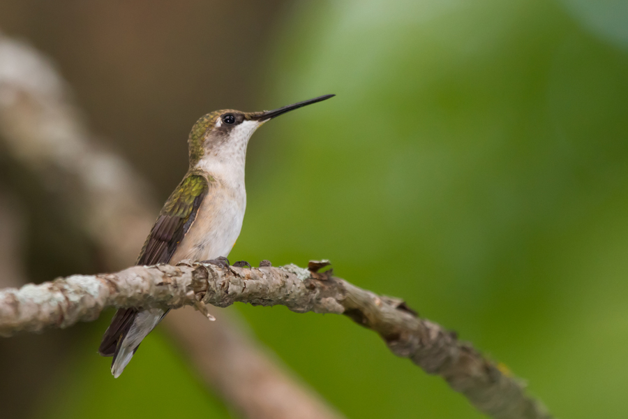 Ruby-throated HummingbirdFb082512_72ppi