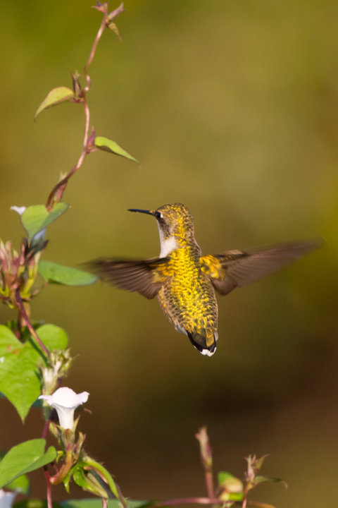 Ruby-throated HummingbirdFc100612_72ppi