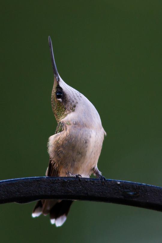 Ruby-throated HummingbirdHYMa082413_72ppi
