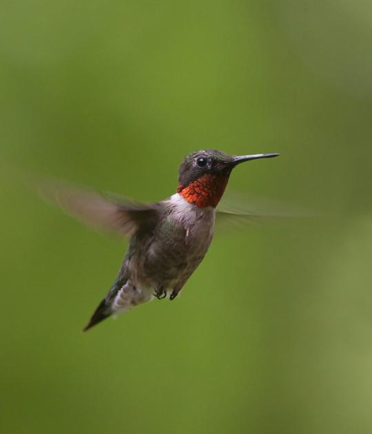 Ruby-throated HummingbirdMc081511_72ppi