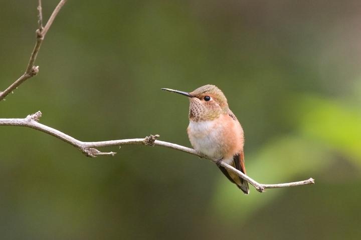 Rufous HummingbirdFa062110_72ppi
