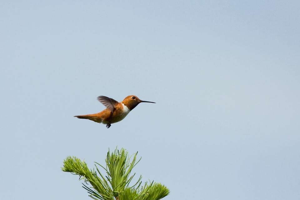 Rufous HummingbirdMb06.17.09