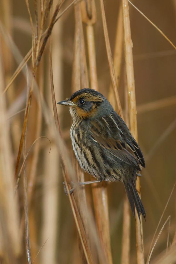 Saltmarsh Sparrowa111613_72ppi