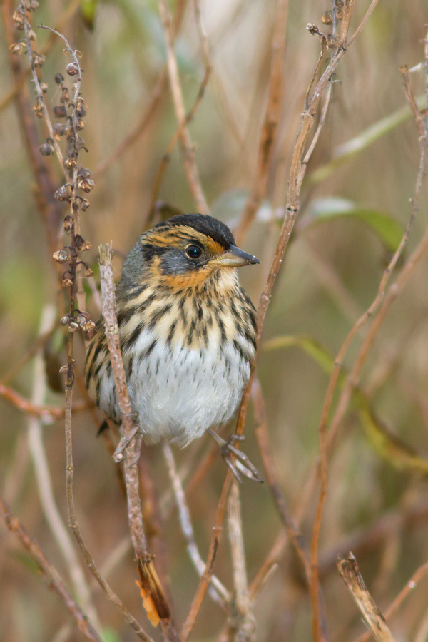 Saltmarsh Sparrowb111613_72ppi