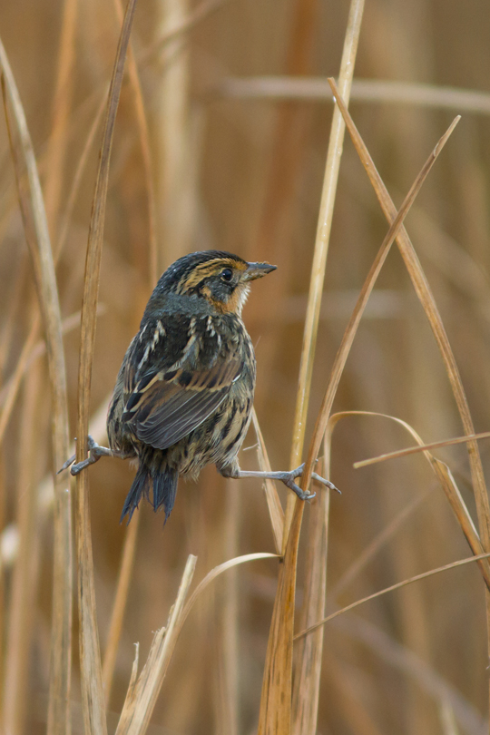 Saltmarsh Sparrowc111613_72ppi