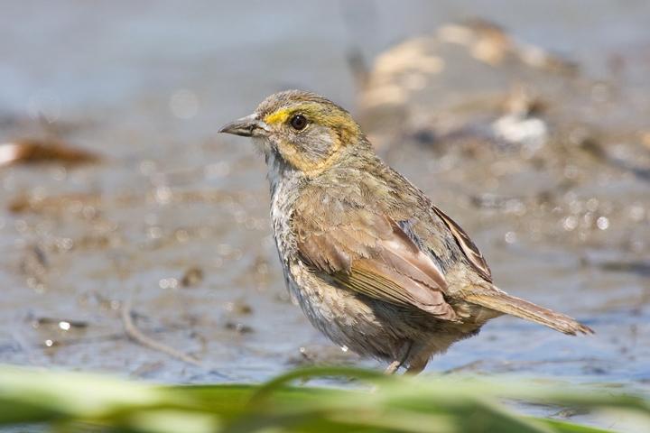 Saltmarsh SparrowMh052610