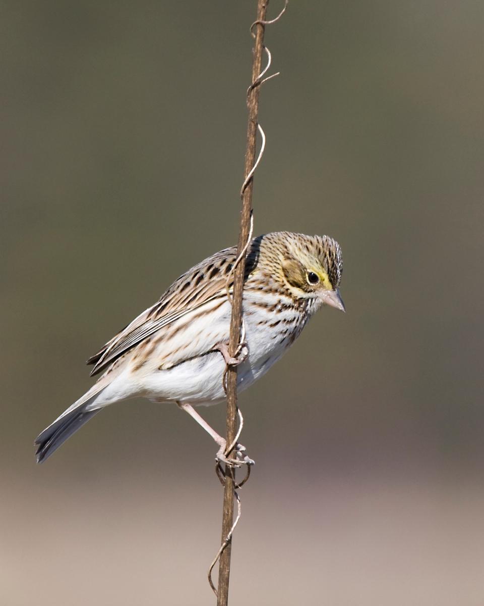 Savannah Sparrowa01.25.09