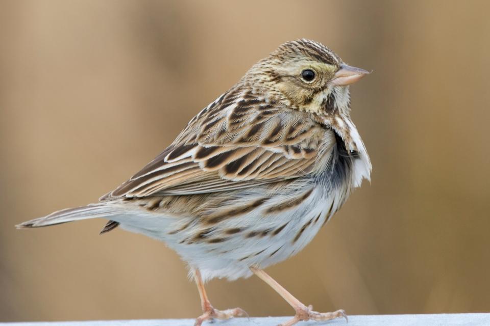 Savannah Sparrowa01.26.08