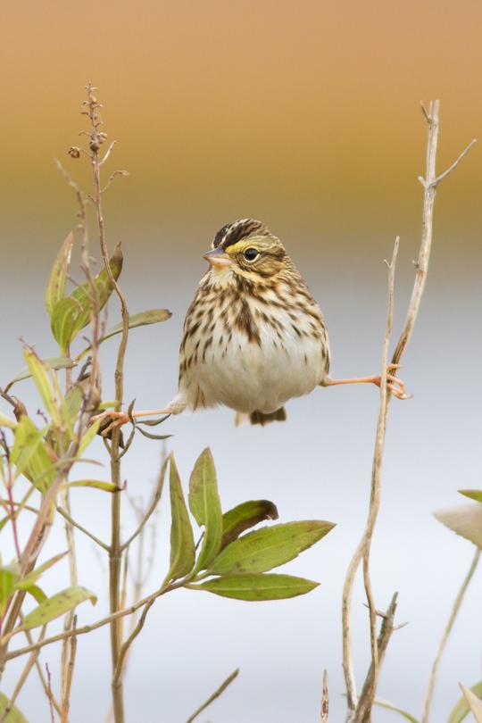 Savannah Sparrowa111613_72ppi