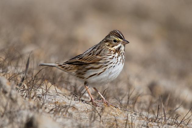 Savannah Sparrowbb012509_72ppi