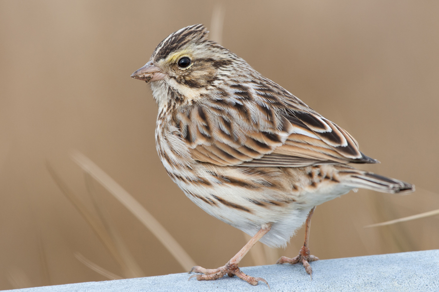 Savannah Sparrowf012608_72ppi