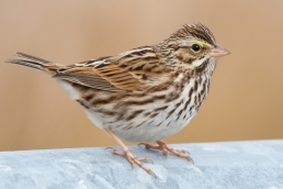 Savannah Sparrowi012608_72ppi