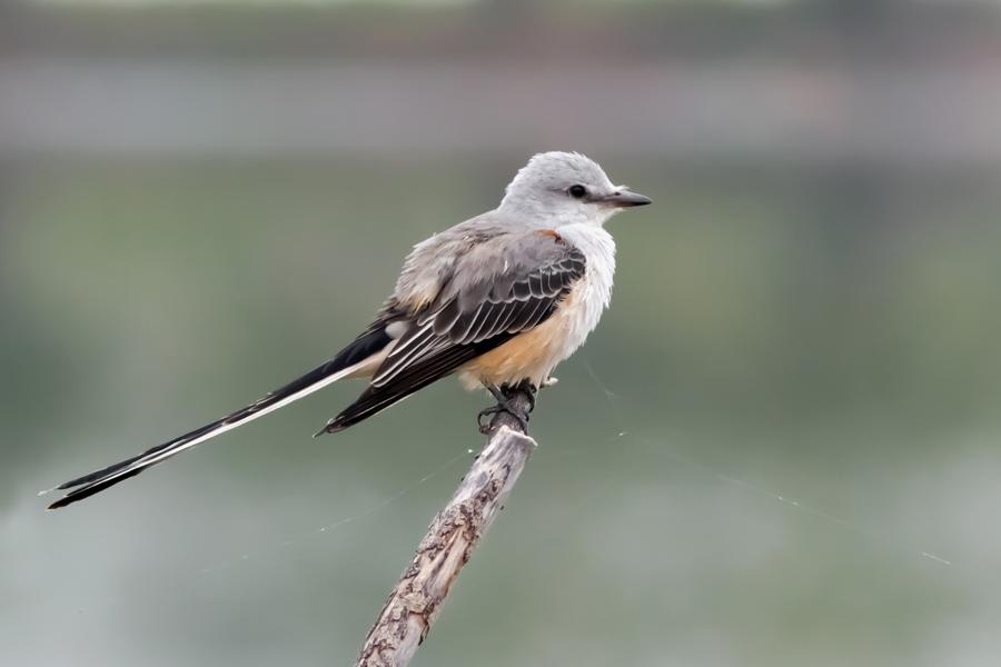 Scissor-tailed FlycatcherAda11042015_72ppi