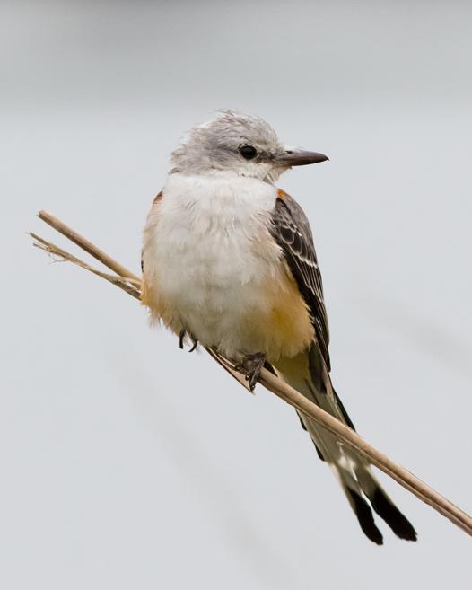 Scissor-tailed FlycatcherAdc11042015_72ppi