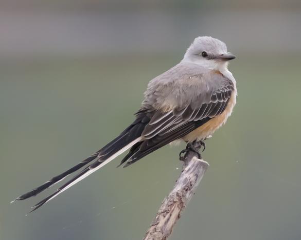 Scissor-tailed FlycatcherAde110415_72ppi