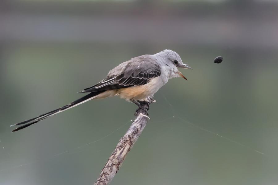 Scissor-tailed Flycatcherf110415_72ppi
