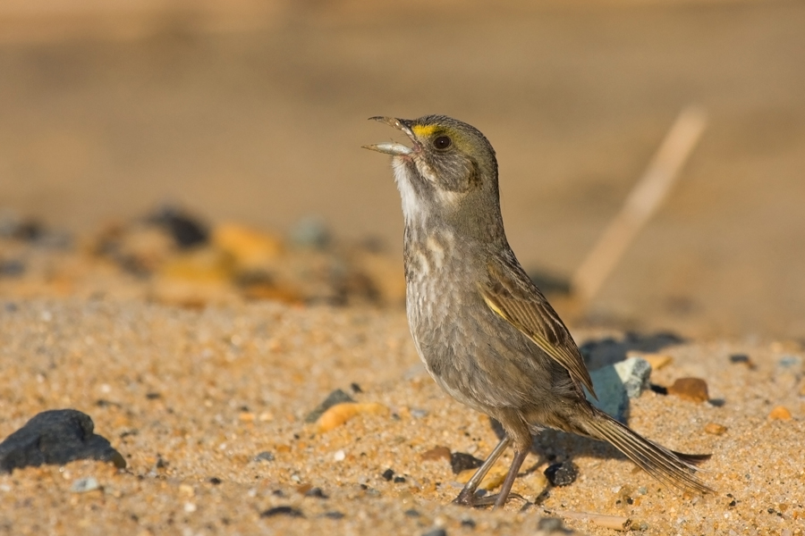 Seaside SparrowMa052610_72ppi