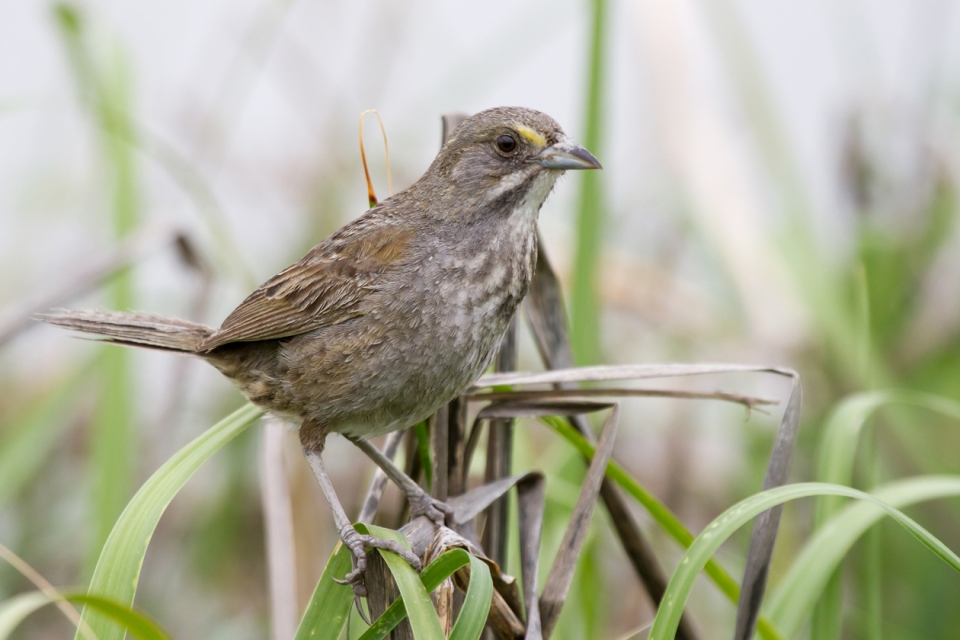 Seaside SparrowMa060813_72ppi