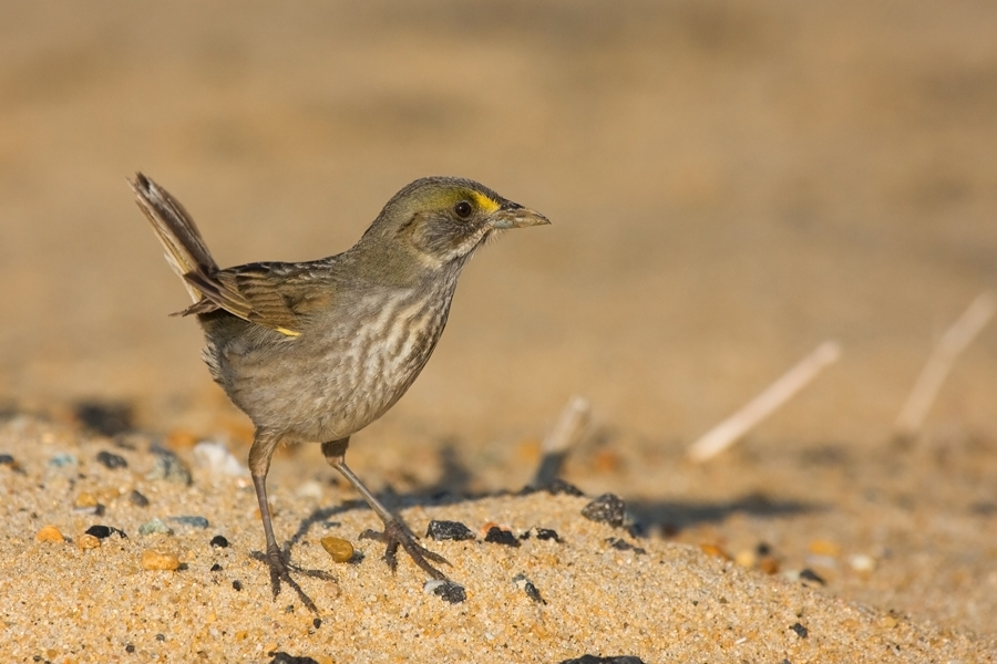 Seaside SparrowMc052610_72ppi