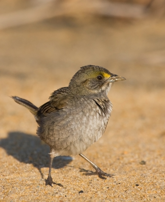 Seaside SparrowMd052610_72ppi