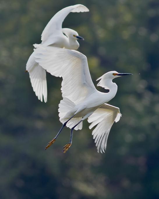 snowy-egrets1_72ppi