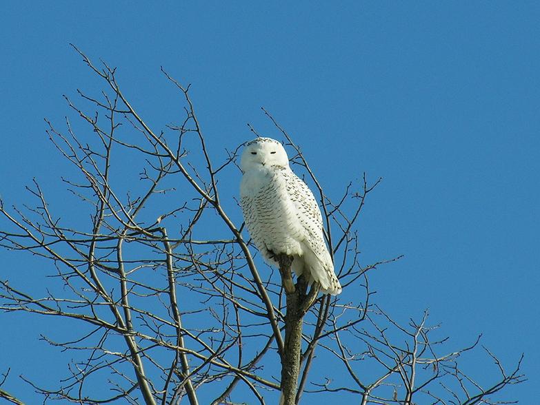 Snowy owl1g02.02.05_72ppi